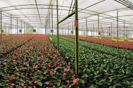 Turistas podem conhecer estufas de flores em Holambra