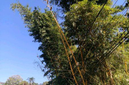 Defesa Civil realiza poda preventiva de árvore no bairro do Panorama em Cajamar